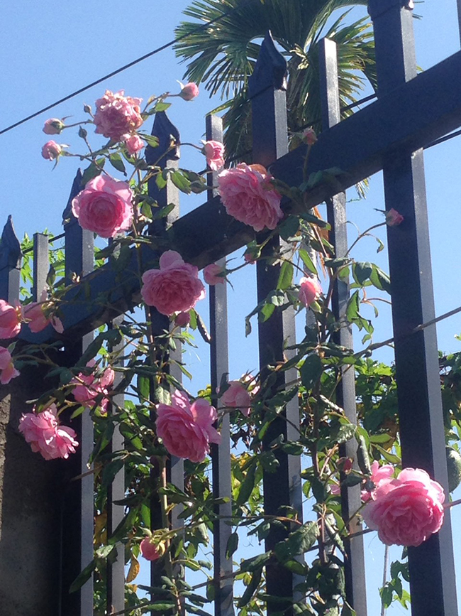 Vườn hồng nhà anh Đặng Quốc Hữu - Khánh Hòa sau khi sủ dụng phân bón
