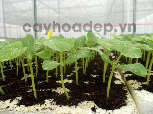 Dưa lưới được sử dụng Amino Acid giúp kích thích nảy mầm và phát triển