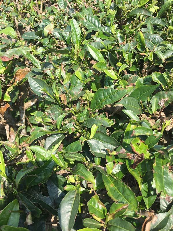 Vườn chè nhà Chị Tuyết Vũ - KH Chelate Việt Nam sau khi sử dụng sản phẩm giải độc được 7 ngày