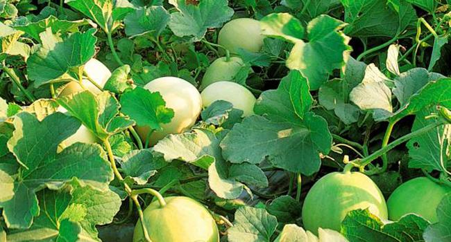 Atonik giúp tăng tỷ lệ đậu quả, năng suất và hàm lượng đường rất hiệu quả