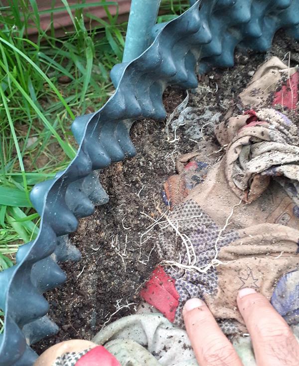 K-IAA được khách hàng Chelate Việt Nam tưới gốc cho cây hoa mai, bộ rễ phát triển mạnh và đẹp