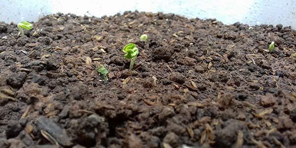 Để cây phát triển tốt cần chú ý đến đất trồng