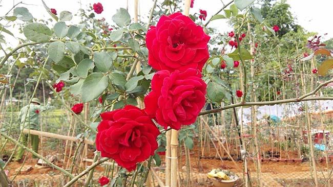 Hoa hồng tại vườn nhà anh Cát Duy Biên - Sơn La