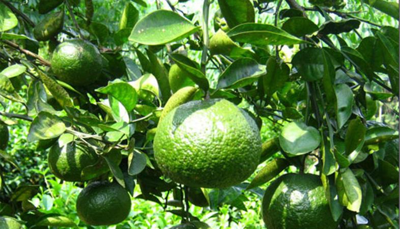 Đối với cây trồng sử dụng Paclobutrazol là lựa chọn hợp lý nhất