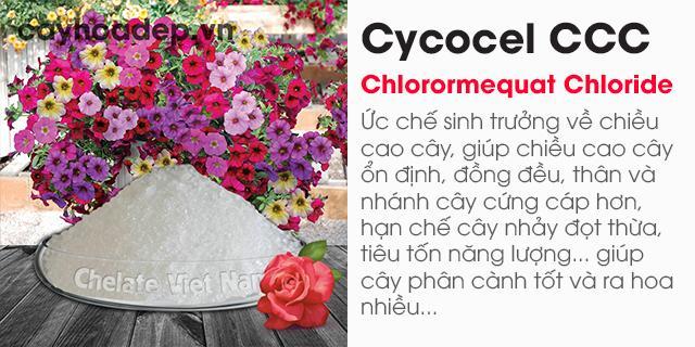 Bán Chlormequat clorua, Cycocel CCC 98% (Ức chế sinh trưởng, tạo dáng hoàn hảo)