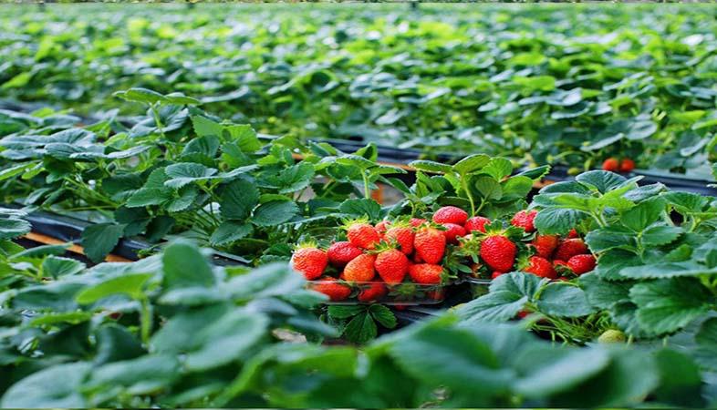 Đê cây trồng tốt, khỏe việc bổ sung Magie Nitrat Hexahydrate là điều không thể bỏ qua
