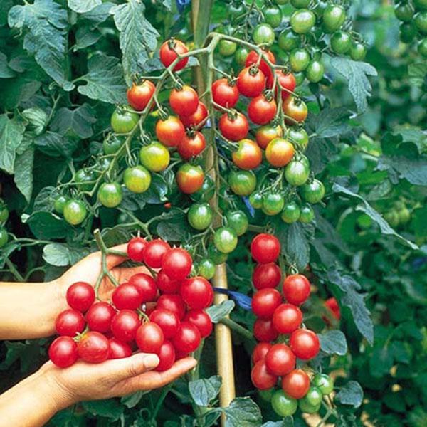 Hạn chế sự phát triển, kích thích ra hoa, đậu quả là một biện pháp thiêt thực đối với cây ăn quả