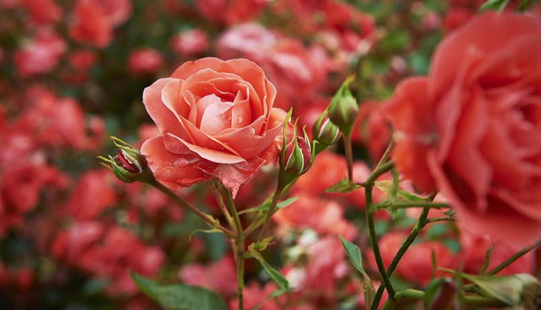 Kĩ thuật trồng và chăm sóc cây hoa hồng